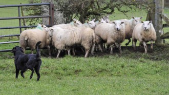 A dog worrying sheep.