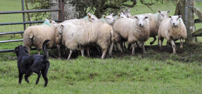 A dog worrying sheep.